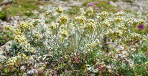 Artemisia Umbelliformis Twelve Beauty